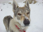 Chien Baby Blue -  Femelle (3 ans)