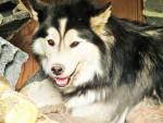 Chien Siberia -  Femelle (3 ans)