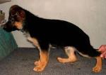 Chien boonty -  Femelle (6 mois)