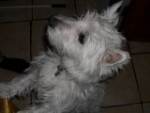 Chien Maisy May -  Femelle (3 ans)