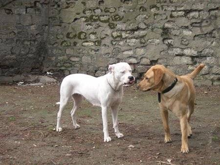 Chien Labrador et Dogue Argentin : Urban et ?? -   (0 mois)