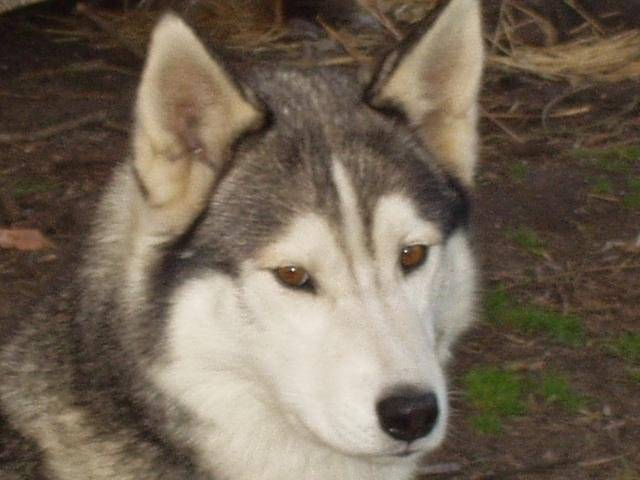 Photo husky lonor : Chien