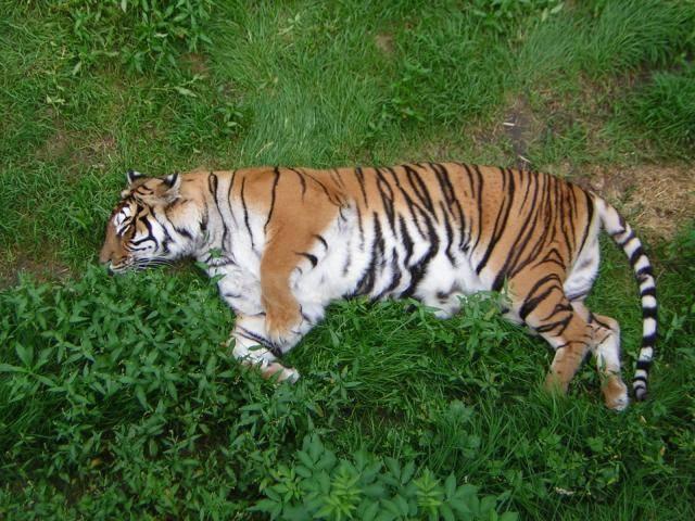 Chien tigre -   (0 mois)