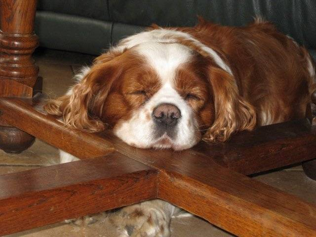 Photo Cavalier King Ch...