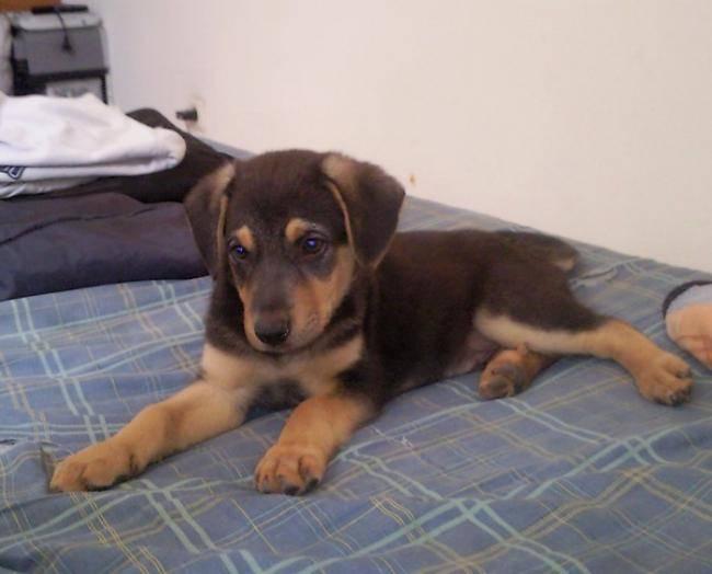 Photo Bako Berger Allemand croisé Rottweiler 2 mois : Chien (2 mois)