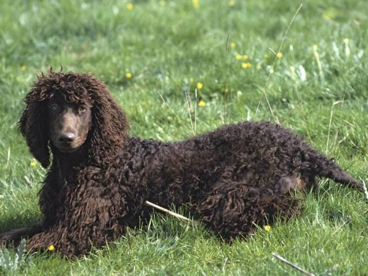 Les races de chiens les plus hypoallergènes : L'Epagneul d