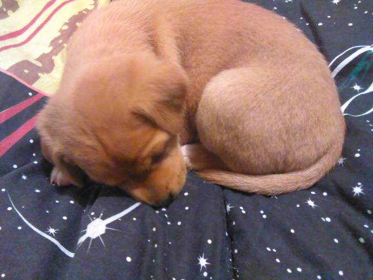 Chien Minnie -  Femelle (1 mois)