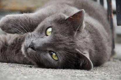 Un Chartreux aux yeux verts allongés sur le sol