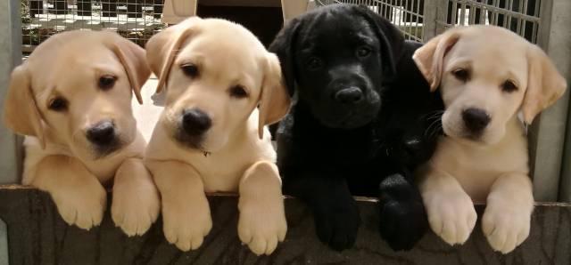 Chiots Labrador Retriever A Vendre Petite Annonce Chien
