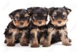 Vend 2 chiots Yorkshire Terrier
