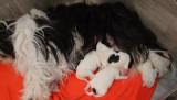 chiots terrier du Tibet de jind'himalaya