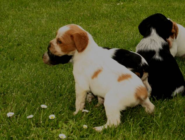 Chiots Epagneuls Bretons Petite Annonce Chien