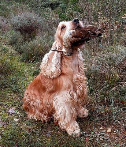 Excellent chien de chasse