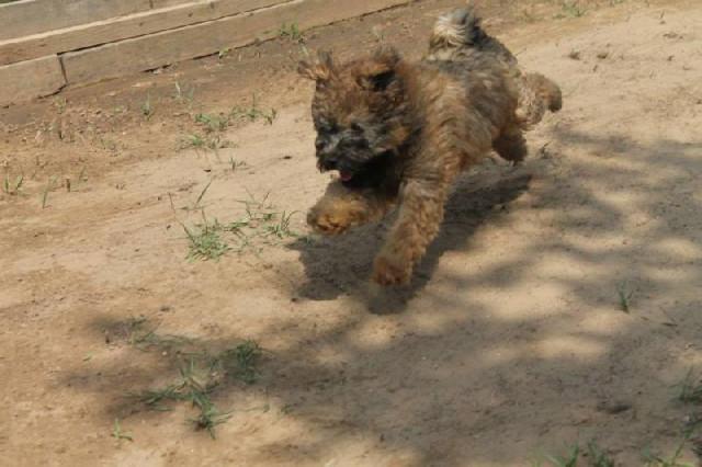Vend 2 chiots Puli - 1 mâle & 1 femelle : Petite Annonce chien