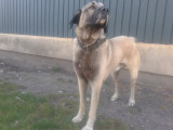 Saillie chien de berger d'Anatolie kangal karabash