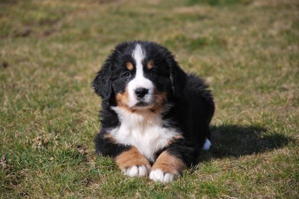 Adoption de mes bouvier bernois petite annonce chien - Bouvier bernois prix ...
