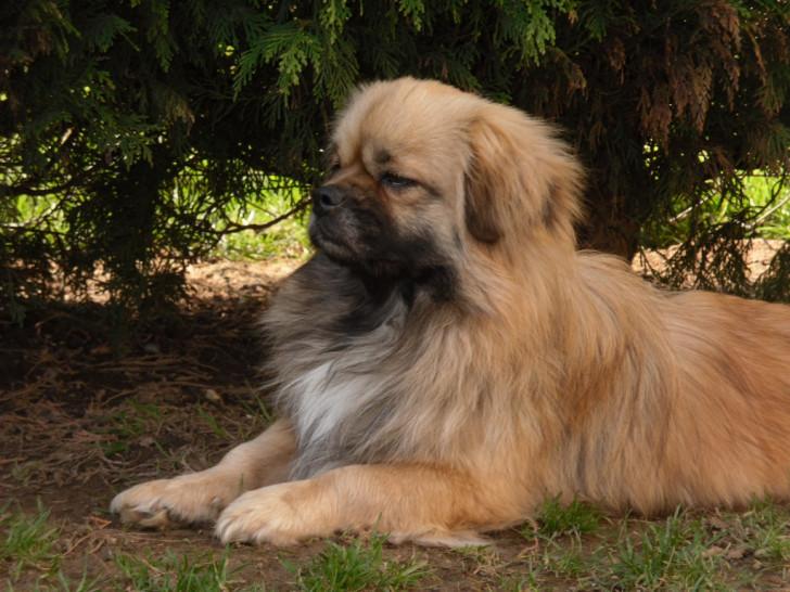vends epagneul tibetain m le adulte cot 4 petite annonce chien. Black Bedroom Furniture Sets. Home Design Ideas