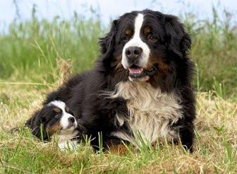 chiots bouvier bernois lof vendre petite annonce chien. Black Bedroom Furniture Sets. Home Design Ideas