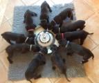 Chiots Deerhounds disponibles
