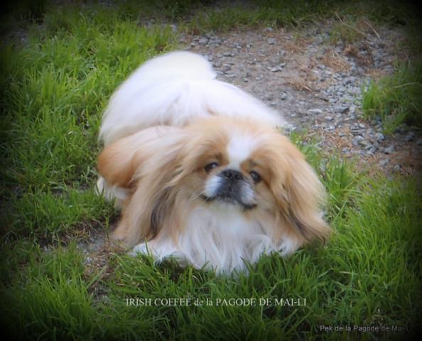 Disponible joli mâle Pékinois particolore roux et blanc LOF confirmé