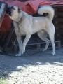 Berger d'anatolie (Kangal) de 2 ans et demie disponible pour saillie