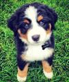 Vends adorable chiot Bouvier bernois