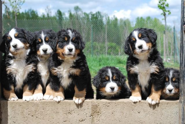 Chiots bouvier bernois m les femelles petite annonce chien - Bouvier bernois prix ...