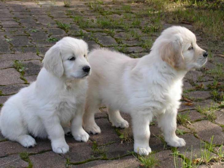 Chiots golden retriever r server naissance d cembre 2015 petite annonce chien - Golden retriever gratuit ...