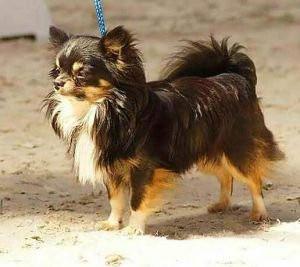 Chihuahuas Etalons sélectionnés pédigrés