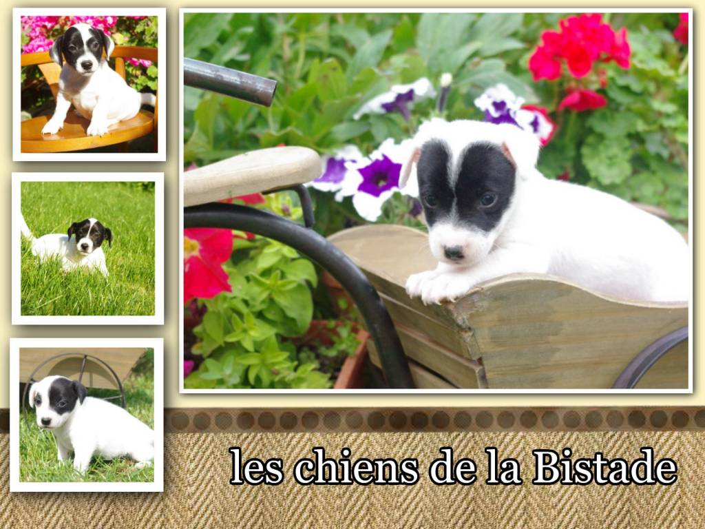 Vends chiots Jack Russell