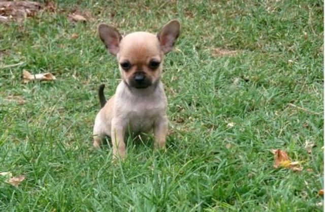 Magnifique chiot Chihuahua femelle à donner : Petite