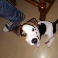 Jack Russell Terrier 9 mois
