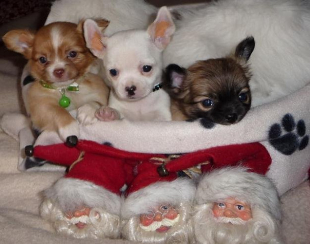 magnifique chiot chihuahua donner petite annonce chien. Black Bedroom Furniture Sets. Home Design Ideas