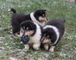 Disponibles 3 chiots mâles colley tricolore