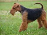 A réserver chiots Welsh Terrier