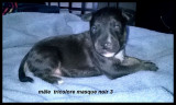 A réserver 10 chiots Bull Terrier LOF