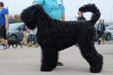 Multi champion de race terrier noir russe
