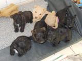 Scottish Terrier chiots