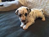 Superbes chiots dalmatiens LOF
