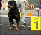 À reserver chiots Rottweiler LOF
