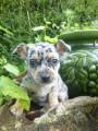 Chiots Chihuahua poils court
