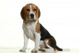 Donne jeune Beagle femelle LOF