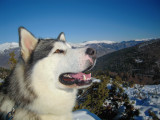 Malamute disponible pour saillies