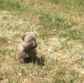 Chiots Cairn Terrier à vendre