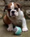 Bulldog Anglais, chiots LOF origines exceptionnelles