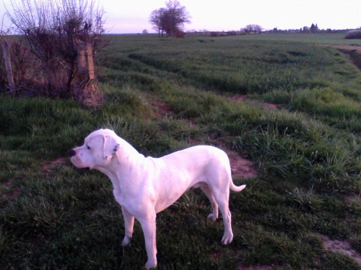 propose male lof dogue argentin pour saillie : Petite
