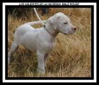 Superbes Chiots Dogue Argentin