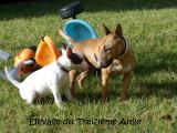 Chiots Bull Terrier miniatures minibull LOF