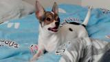 Petite Chihuahua cherche un copain