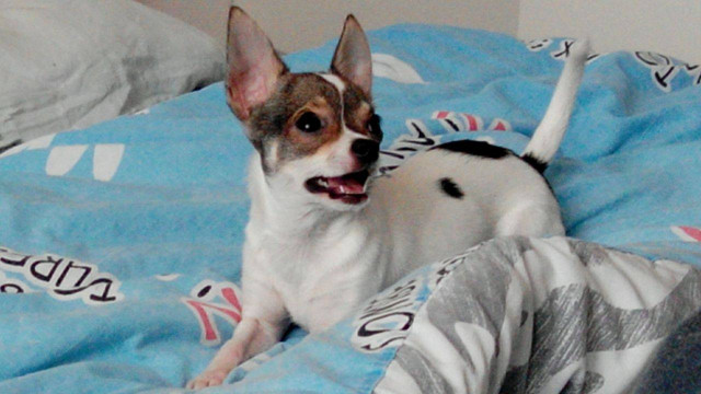 Petite Chihuahua pour saillie